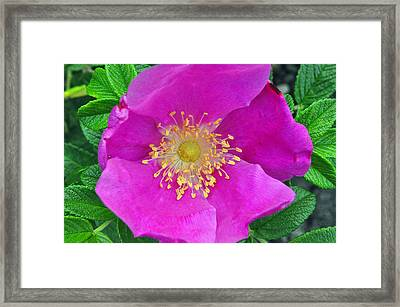 Framed Print featuring the photograph Pink Portulaca by Tikvah's Hope