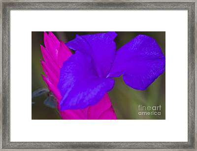 Pink Quill Framed Print by Heiko Koehrer-Wagner