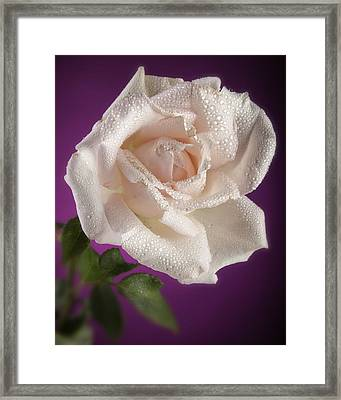 Pink Rose And Rain Drops Framed Print by M K  Miller