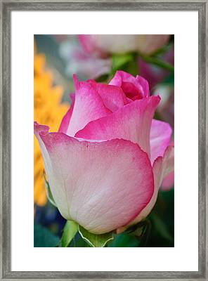 Pink Rose Bud Framed Print by Connie Cooper-Edwards
