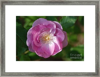 Pink Rose Close Up Framed Print