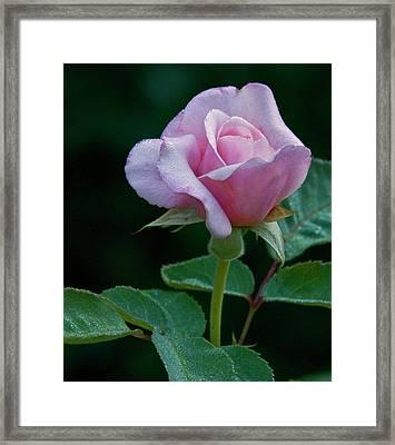 Pink Rose Framed Print by Howard Knauer