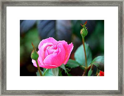 Pink Rose Framed Print by Janice Adomeit
