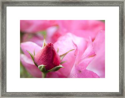 Framed Print featuring the photograph Pink Rose by Jeannette Hunt