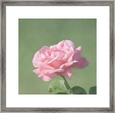 Pink Rose Framed Print by Kim Hojnacki