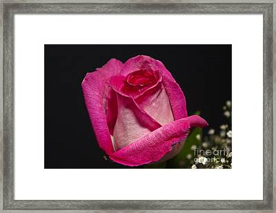 Framed Print featuring the photograph Pink Rose by Michael Waters