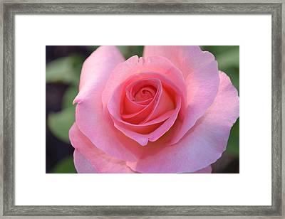 Pink Rose Framed Print by Naomi Berhane