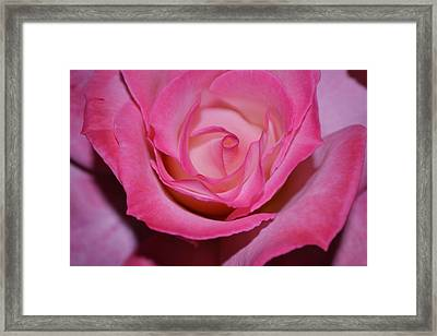 Pink Rose Framed Print by Saifon Anaya