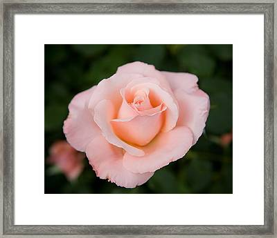 Pink Rose With Dew Drop Framed Print