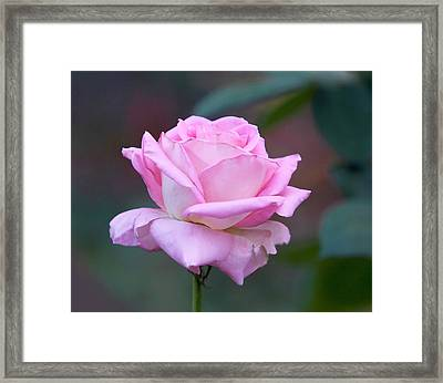 Pink Rose With Soft Leaves Framed Print by Linda Phelps