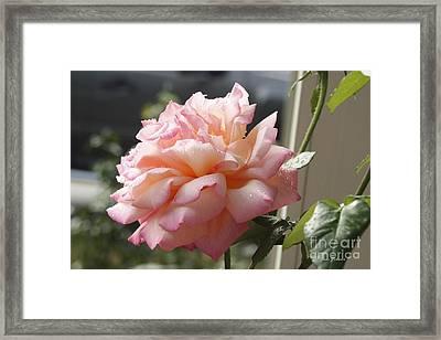 Pink Rose  Framed Print by Yumi Johnson