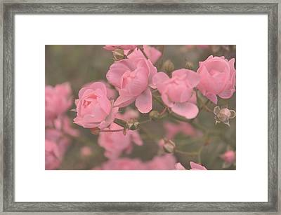 Pink Roses Framed Print by Paula Sharlea