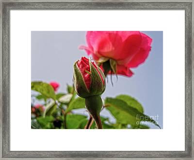 Pink Roses Framed Print by Saajid Abuluaih