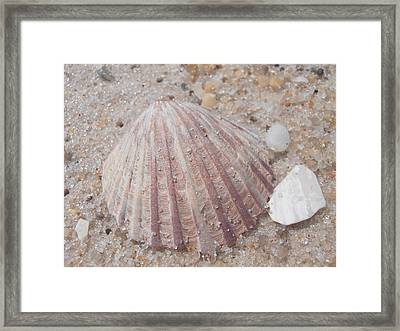 Pink Scallop Shell Framed Print by Kimberly Perry