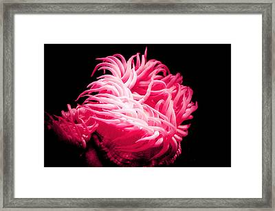 Pink Sea Anemones At Oklahoma Aquarium 2005 Framed Print by Toni Hopper