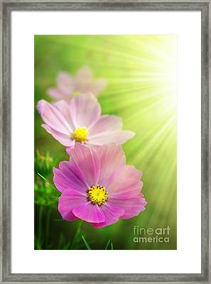 Pink Spring Framed Print by Carlos Caetano