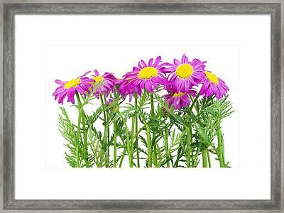 Pink Spring Daisies Border Framed Print