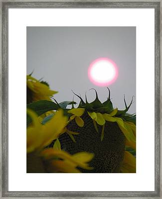 Pink Sun Setting Over Sunflower Field Framed Print