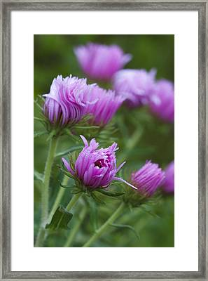 Pink Swirls Framed Print by Carrie Cranwill