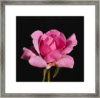 Pink Tea Rose Framed Print