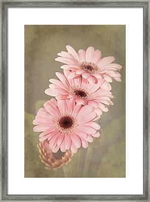 Pink  Textured Gerbras Framed Print by Fiona Messenger