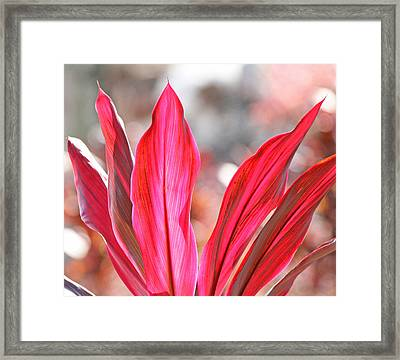 Pink Ti Plant Framed Print by Becky Lodes