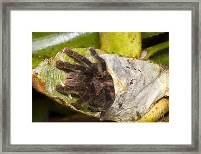 Pink Toe Tarantulas Framed Print