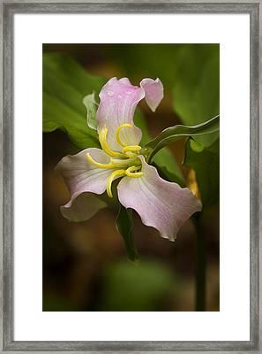 Pink Trillium Framed Print