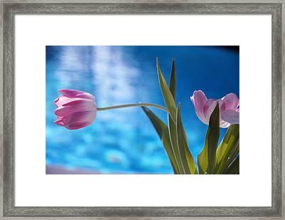 Pink Tulip Framed Print by Bob Whitt