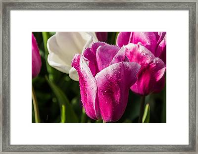 Framed Print featuring the photograph Pink Tulip by David Gleeson