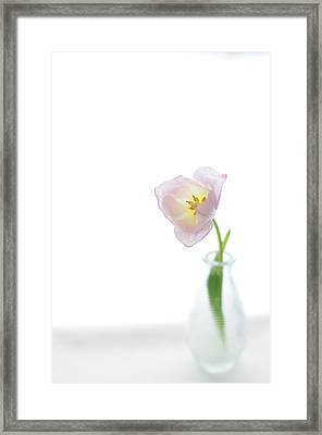 Pink Tulip In Glass Vase On White Background Framed Print by Photo by Ira Heuvelman-Dobrolyubova