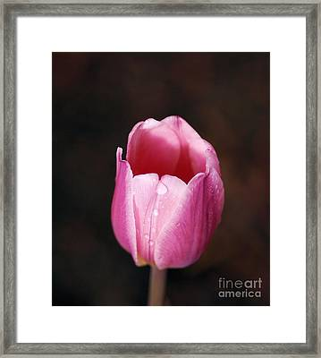 Pink Tulip Framed Print by Mark McReynolds