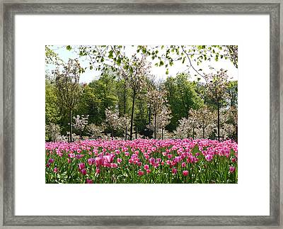 Pink Tulips And Blossom 2 Framed Print