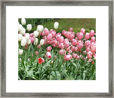 Pink Tulips Framed Print by Larry Krussel