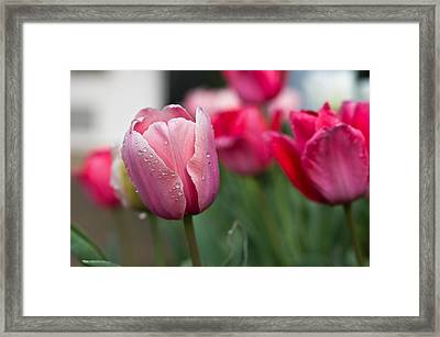 Pink Tulips With Water Drops Framed Print