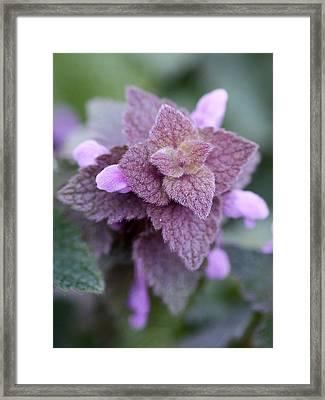 Pink Velvet Framed Print by Lisa Phillips