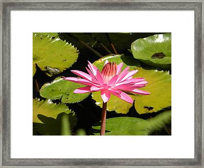 Pink Water Lilly With Frog Framed Print