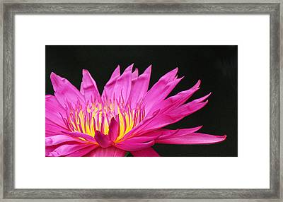 Pink Water Lily Framed Print by Becky Lodes