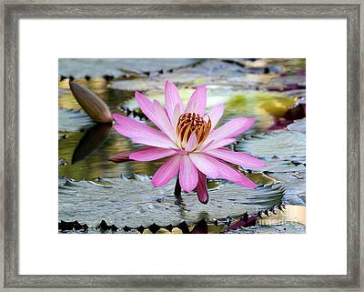 Pink Water Lily In The Morning Framed Print