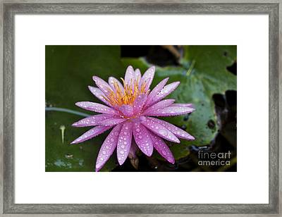 Pink Water Lily Nymphaea Caerulea Framed Print by Yossi Aptekar