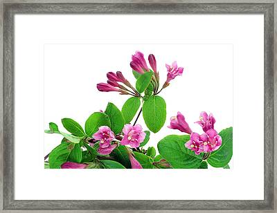 Framed Print featuring the photograph Pink Weigela Background by Aleksandr Volkov