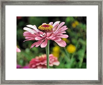 Pink Zinnia Framed Print by Janice Drew