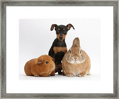 Pinscher Puppy With Rabbit And Guinea Framed Print by Mark Taylor