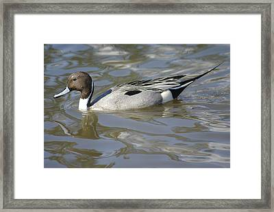 Pintail Duck Framed Print by Marilyn Wilson