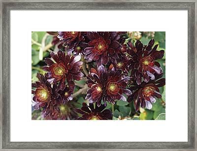 Pinwheel Flowers Framed Print by Duncan Smith