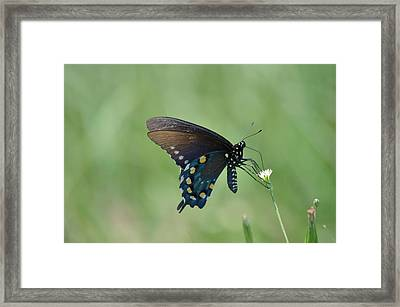 Pipevine Swallowtail Nectaring Framed Print by Kathy Gibbons