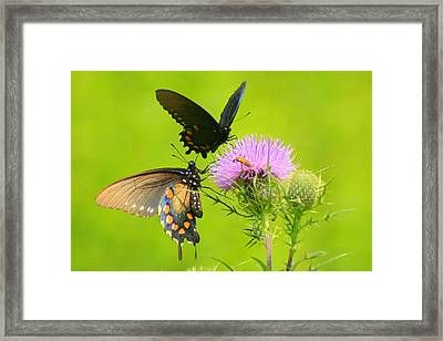 Framed Print featuring the photograph Pipevine Swallowtails In Tandem by Laurel Talabere