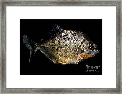 Piranha Framed Print by Dant� Fenolio