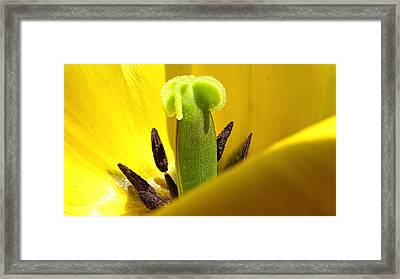 Pistil And Stamens Hiding Behind A Yellow Tulip Petal Framed Print by Chantal PhotoPix