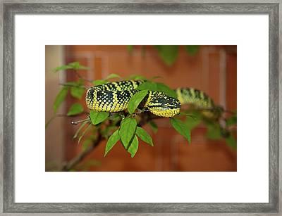 Pit Viper Snake On Tree Branch Framed Print